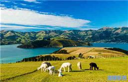 不要再问我为什么移民新西兰这个遍地牛羊的国家生活了!